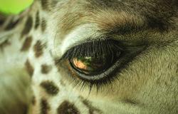 Eye of the long necked Guy