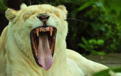 White yawns