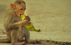 Banana stealer