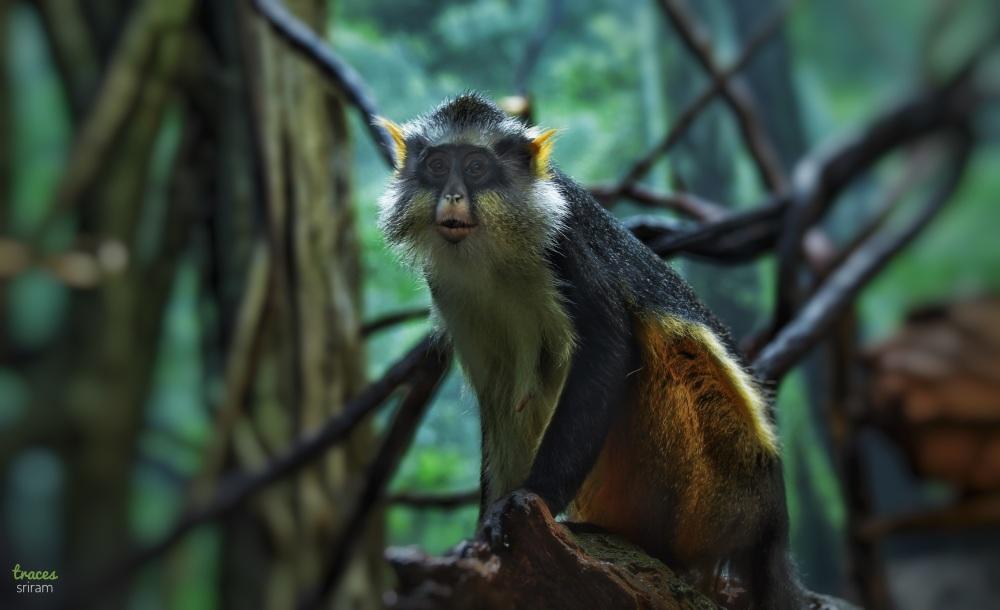 Monkey debrazza