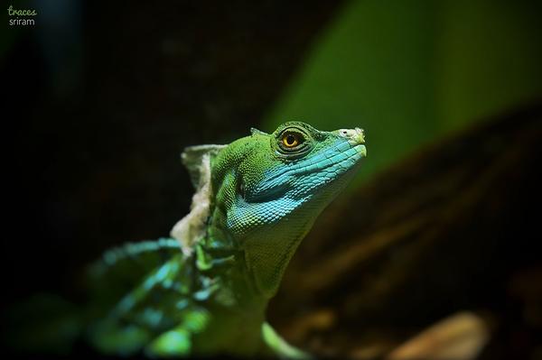 Basilisk glance