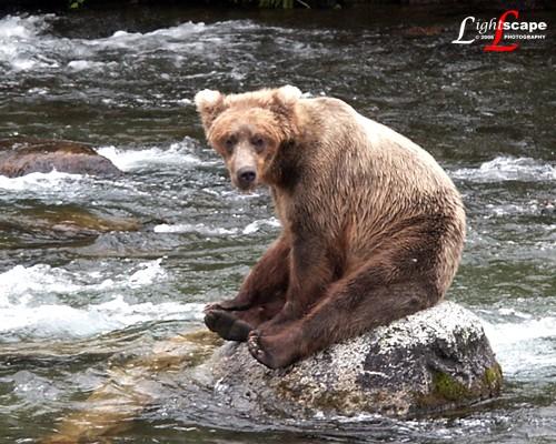 Grizzly Bear on Katmai Island, Alaska