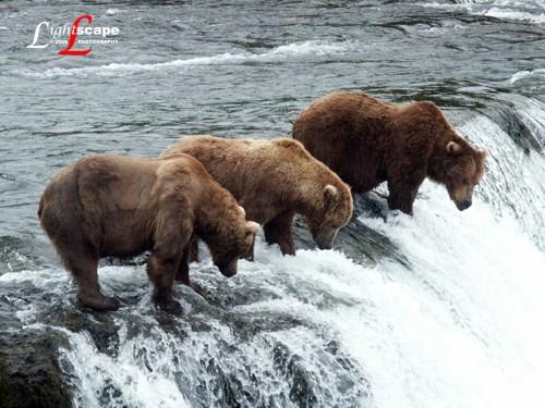 Grizzly Bears fishing on Katmai Island, Alaska