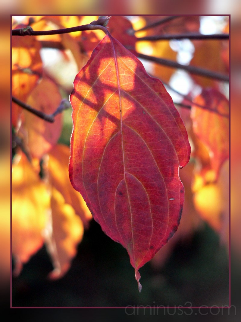 A backlit leaf, late autumn, 2006