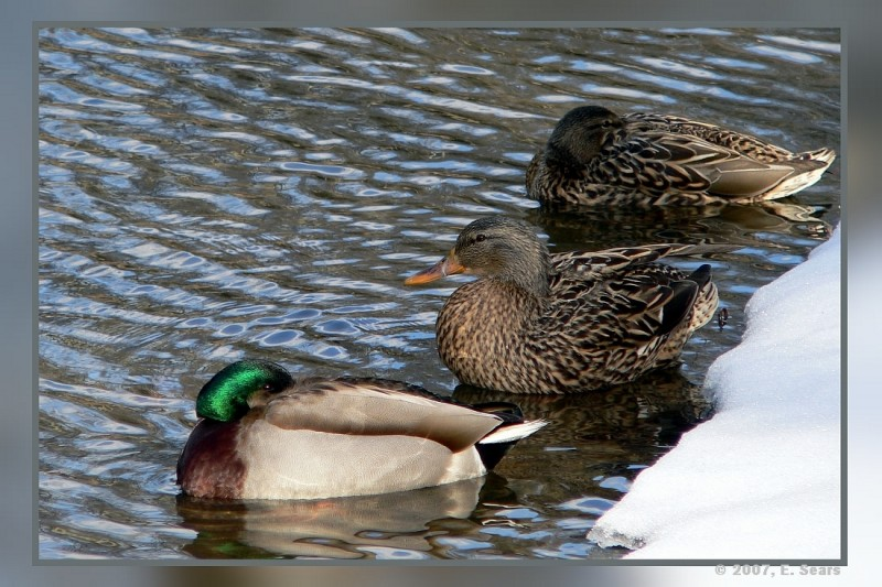 Three Ducks in a pond in early spring
