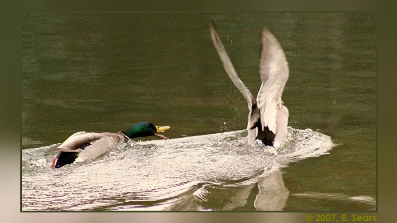 Two male ducks having a turf battle