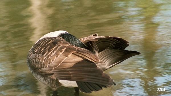 goose grooming itself