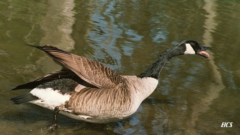 goose in a pond