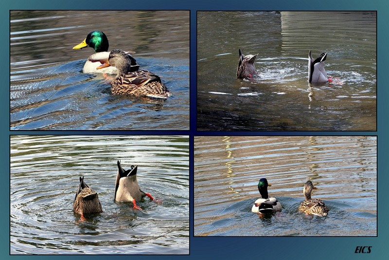 collage of swimming pair of ducks