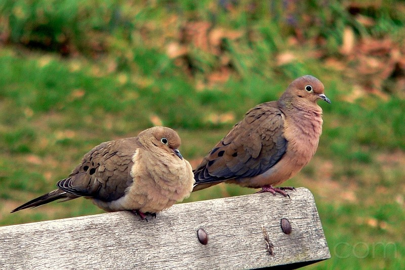 doves on a bench