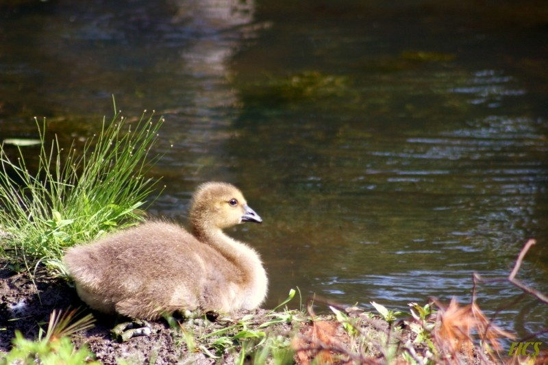 gosling by pond