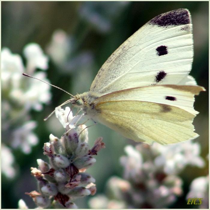 Pale Butterfly