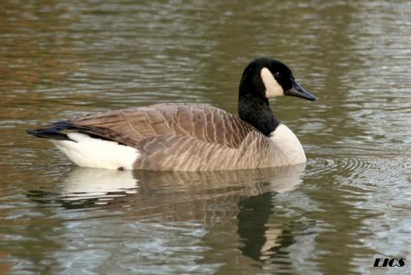 goose one