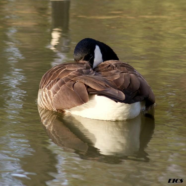 goose three