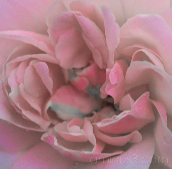 Rose Art II