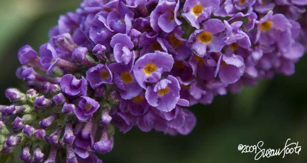 Purple-E