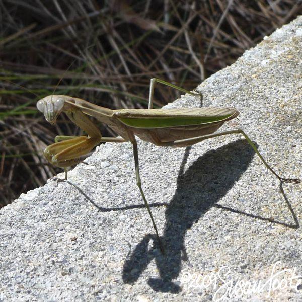 Praying Mantis ... Whacha prayin' for?