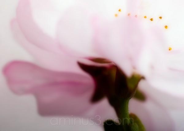 cherry blossum abstract
