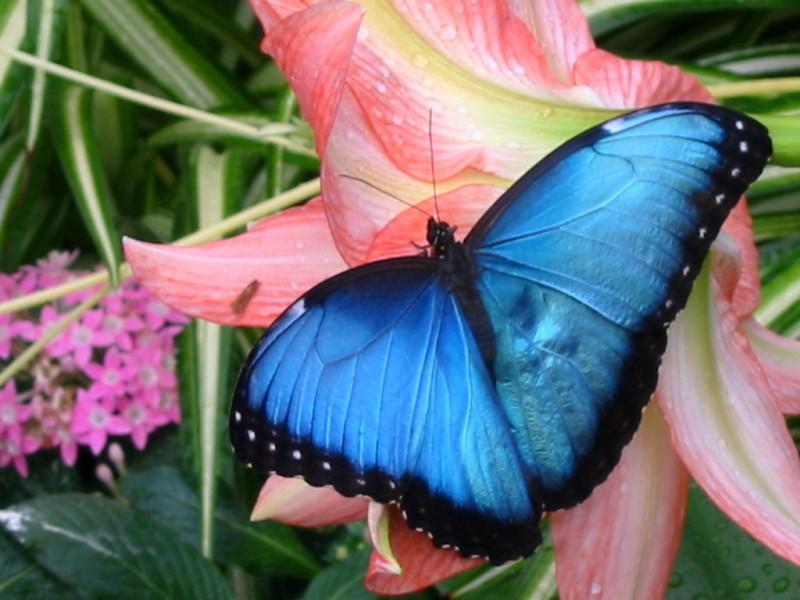 A blue morpho