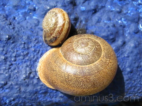 Caracol, Snail at a blue wall in the sun