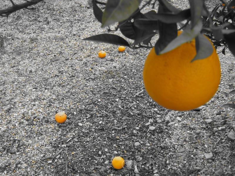 Uma laranja na árvore