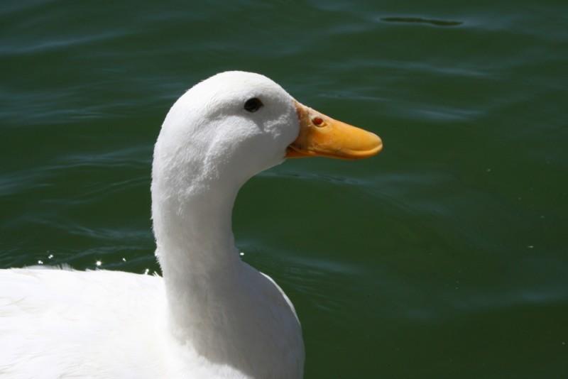 Duck Profile