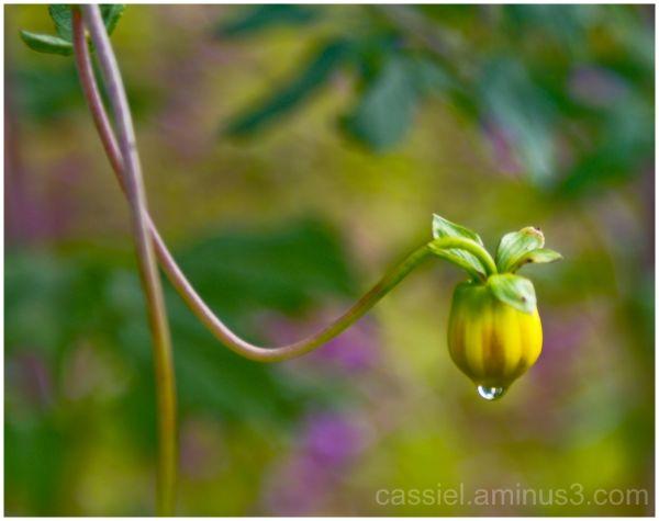gota de agua en la flor