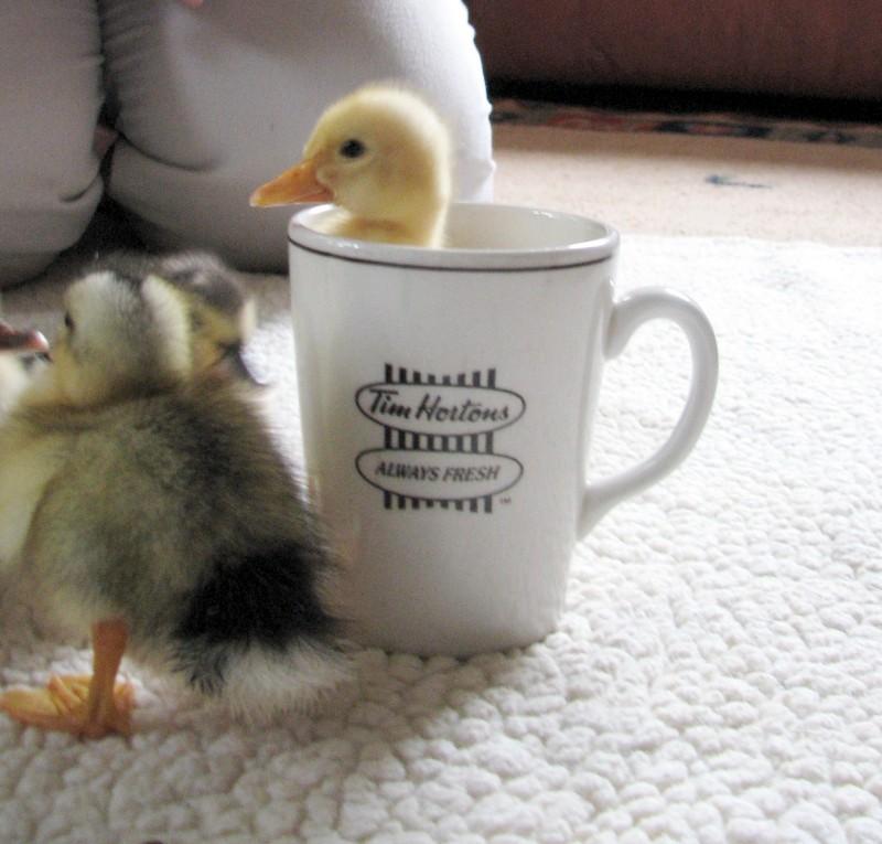 duck in a mug