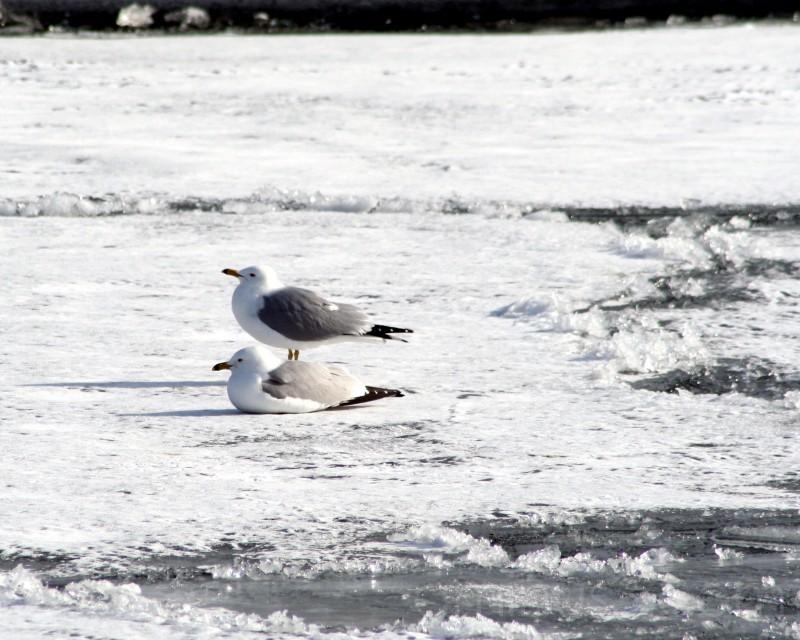 seagull love
