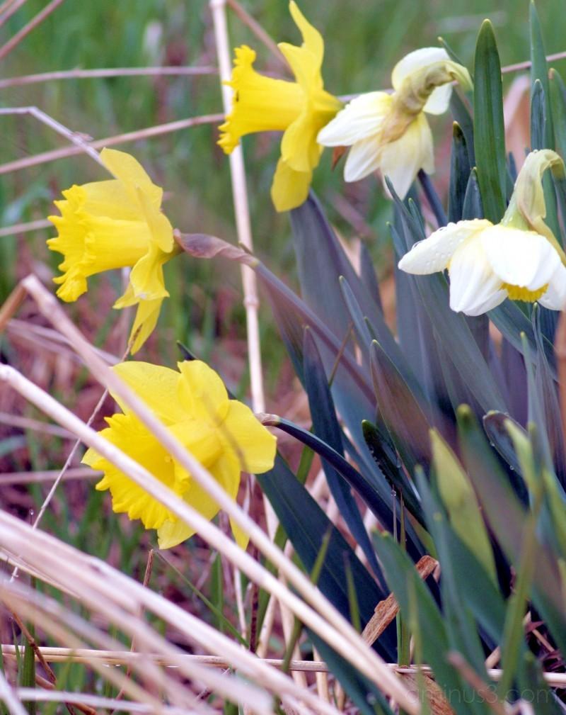 daffodiles
