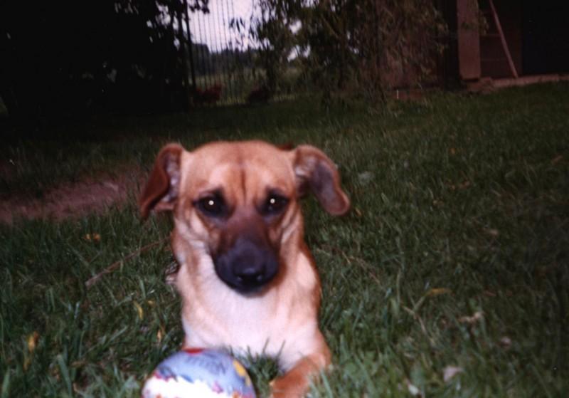 Chappi - my mongrel dachshund