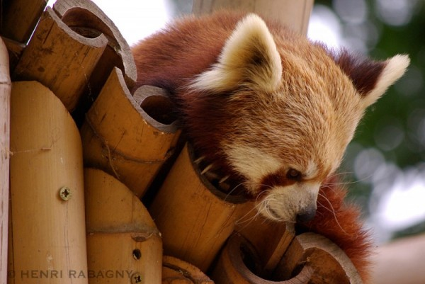 Panda roux au Jardin des Plantes à Paris