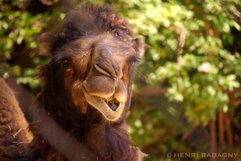 Les animaux font la grimace, le chameau