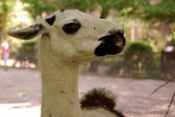 Les animaux font la grimace, le lama
