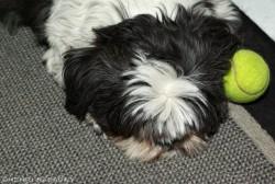 La chienne Salsa dort avec sa balle