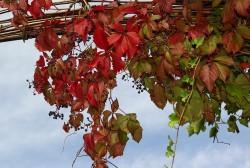 Couleurs d'automne, la vigne