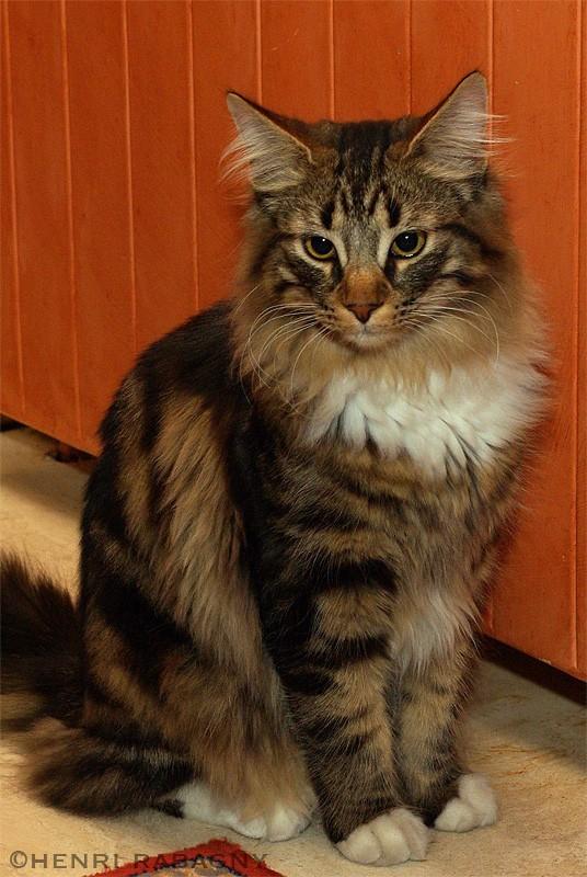 Cesar, un chat norvégien