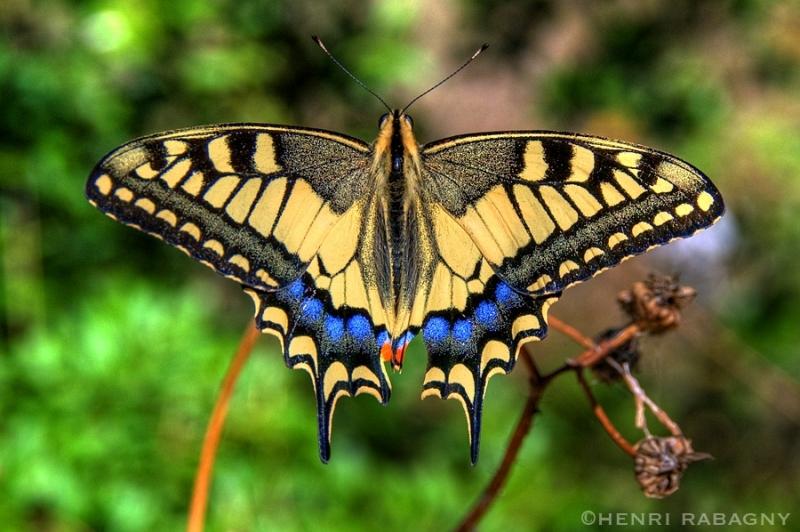 Papillon en HDR