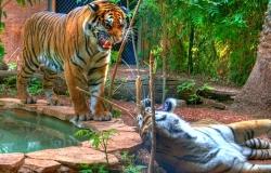 Tigres du zoo St-Jean-Cap-Ferrat (HDR)