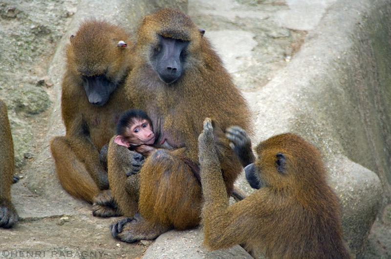 Babouins de Guinée du zoo de Vincennes