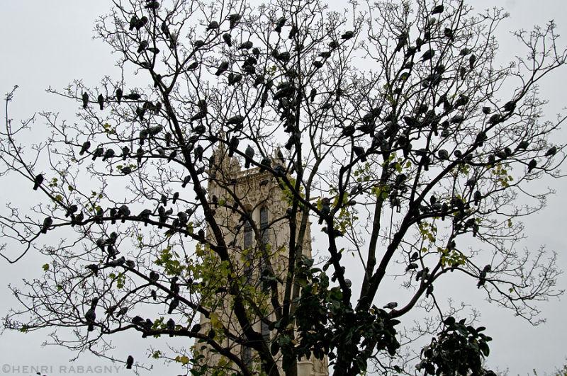 L'arbre à pigeons