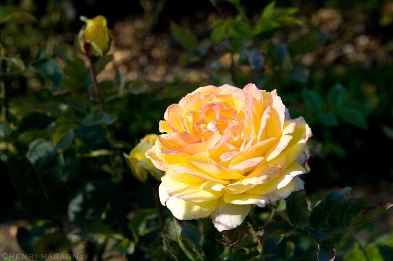 Rose jaune du parc de Bercy