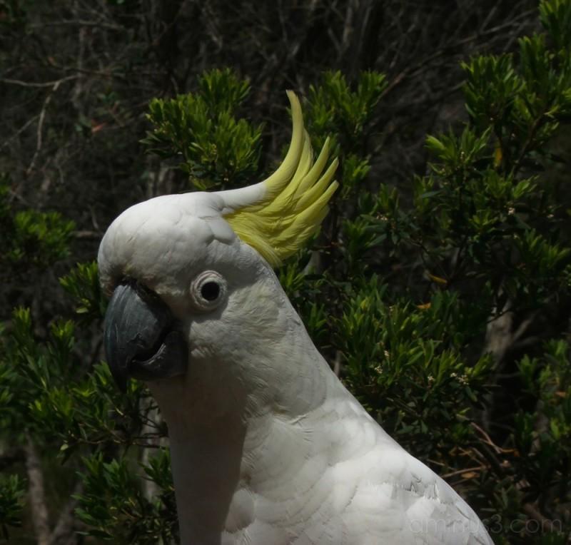 Cocky #1