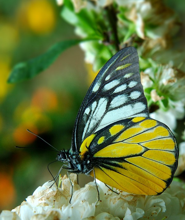 Another Colourful Butterfly