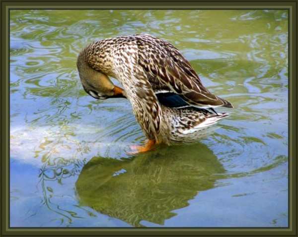 Duck - Cleaning