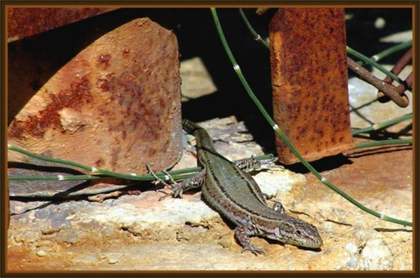 Lizard - basking in the sun
