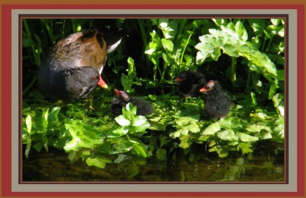 Gallinule - Mother and Babies