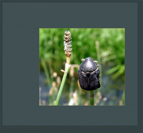Beetle by The Stream