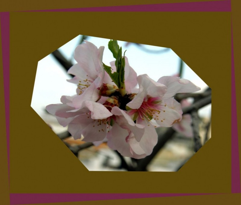 The Almond Blossoms