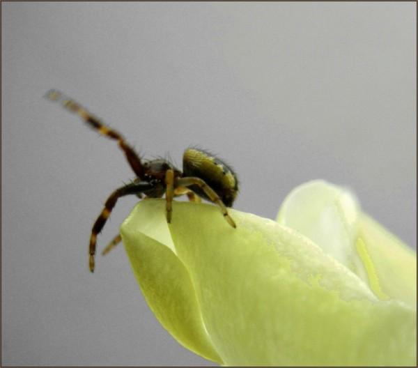 Dancing Spider